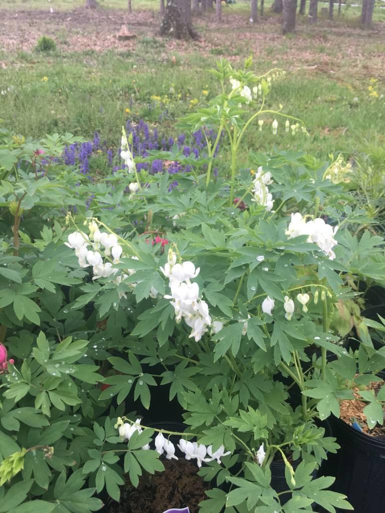 Dicentra spectabilis Alba Bleeding Heart, White, #3