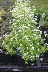 Galium odoratum Sweet Woodruff, #1