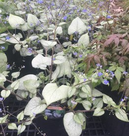 Brunnera mac. Looking Glass Brunnera, Looking Glass, #1