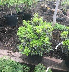 Rhododendron x PJM Rhododendron, PJM, #7