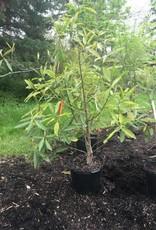 Magnolia virginiana australis Magnolia - Evergreen Sweetbay, #7