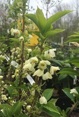 Halesia carolina U. Conn Wedding Bells Silverbell, Carolina, #7