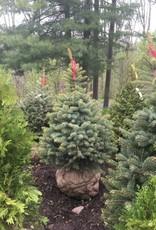 Picea pungens Spruce - Colorado, 4-5' B&B