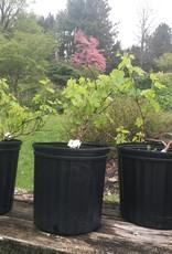 Vitis labrusca Himrod, Concord seedless, #3