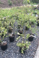 Vaccinium Blueberry, Blue crop, Patriot, Earli blue, Duke, Jersey, Chandler, Chippewa #2