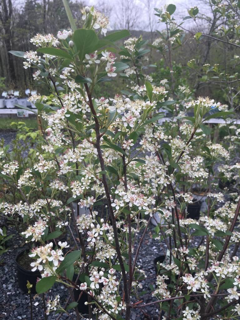 Aronia arb. Brilliantissima Chokeberry, Brilliantissima, #3