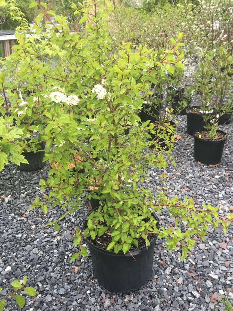 Viburnum prunifolium Blackhaw Viburnum, #7