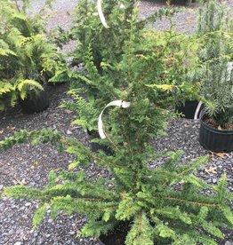 Chamaecyparis ob. Filicoides False Cypress, Fernspray, #3