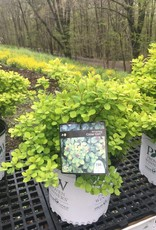 Spiraea betulifolia Tor Gold Spirea - Birch Leaf, Glow Girl, #3