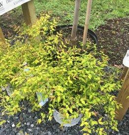 Kolkwitzia amabilis Maradco Beauty Bush, Dream Catcher, #3