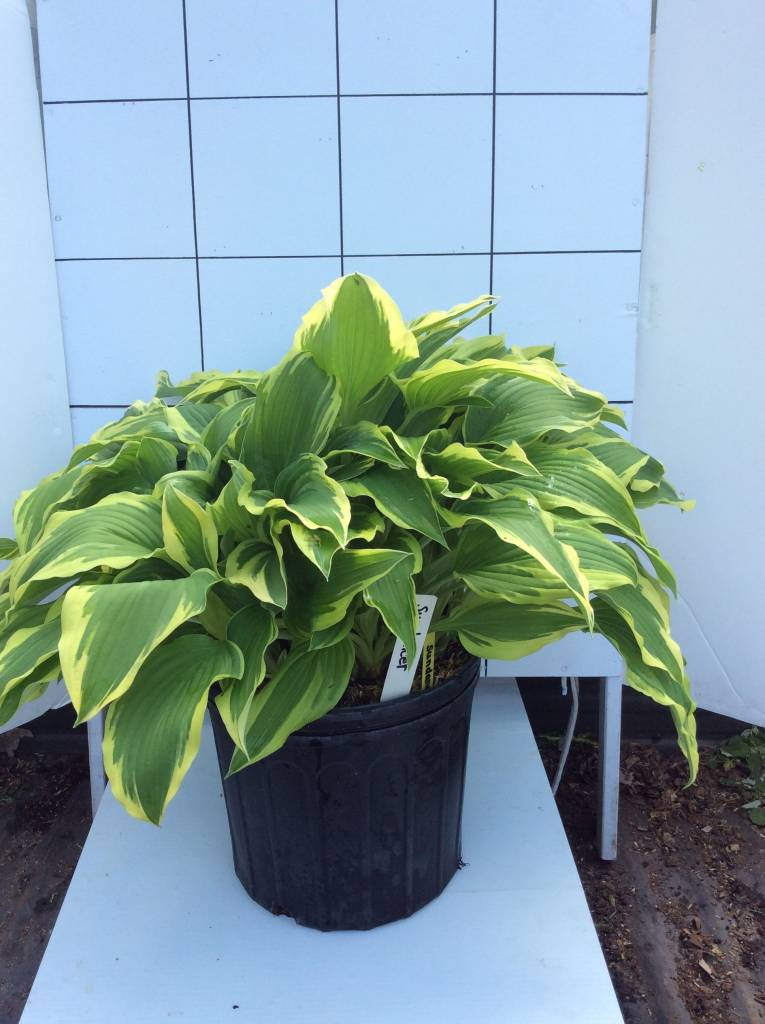 Hosta Sundancer Plantain Lily, Sundancer, #3