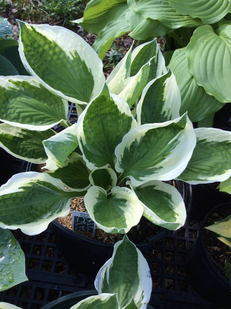 Hosta Patriot Plantain Lily, Patriot, #3
