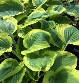 Hosta Broad Band Plantain Lily, Broad Band, #1