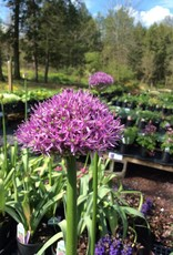 Allium Gladiator, Ornamental Onion #2