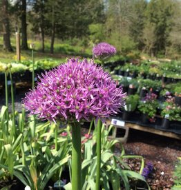 Allium Gladiator, Ornamental Onion #2