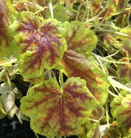 Heucherella Solar Eclipse #1