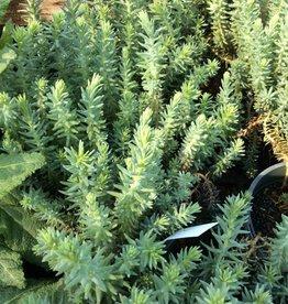 Sedum reflexum Blue Spruce Stonecrop, Blue Spruce, #1