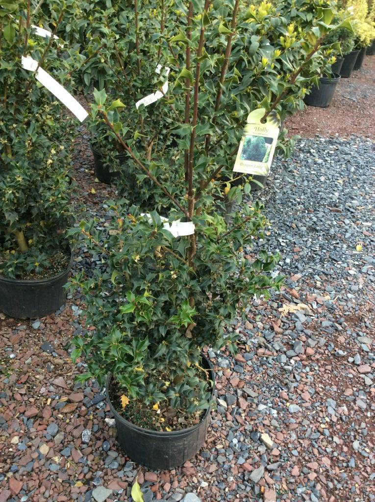 Ilex x aquipernyi Meschick Holly, Dragon Lady, #3