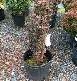 Berberis thun. Helmond Pillar Barberry, Helmond's Pillar, #3