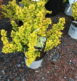 Berberis thun. Maria Barberry, Sunjoy Gold Pillar, #3