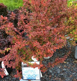 Berberis Sunjoy Cinnamon, Barberry, #3
