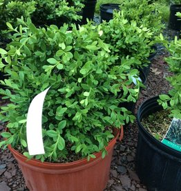Buxus Krazgreen Boxwood, Green Ice, #3