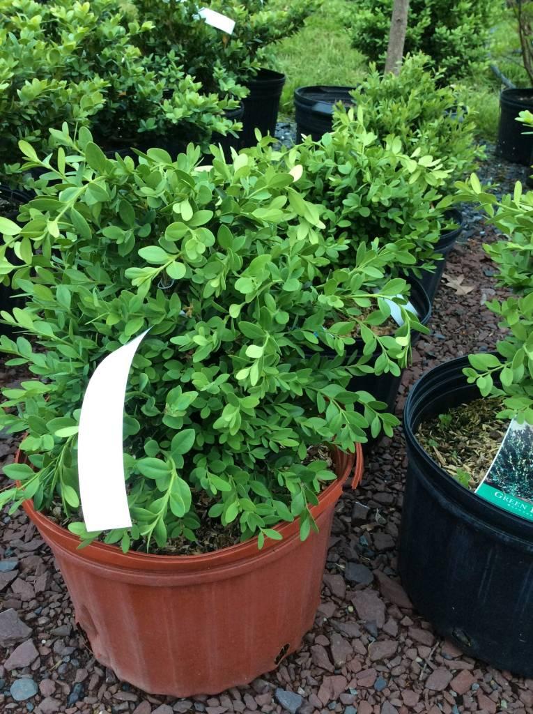 Buxus Krazgreen Boxwood, Green Ice, #3