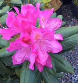Rhododendron Roseum Elegans Rhododendron, Roseum Elegans, #3