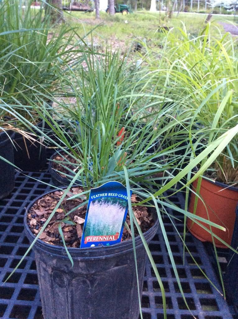 Calamagrostis Karl Foerster Grass - Ornamental Feather Reed, Karl Foerster, #1