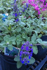 Nepeta x Purple Haze Catmint, Purple Haze, #1