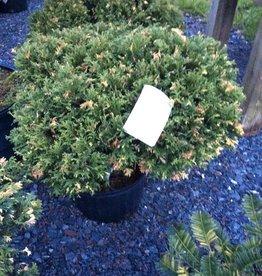 Chamaecyparis Mini variegated False Cypress, Mini variegated, #3