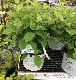 Hydrangea arbor. Dardom Hydrangea - Smooth, White Dome, #3