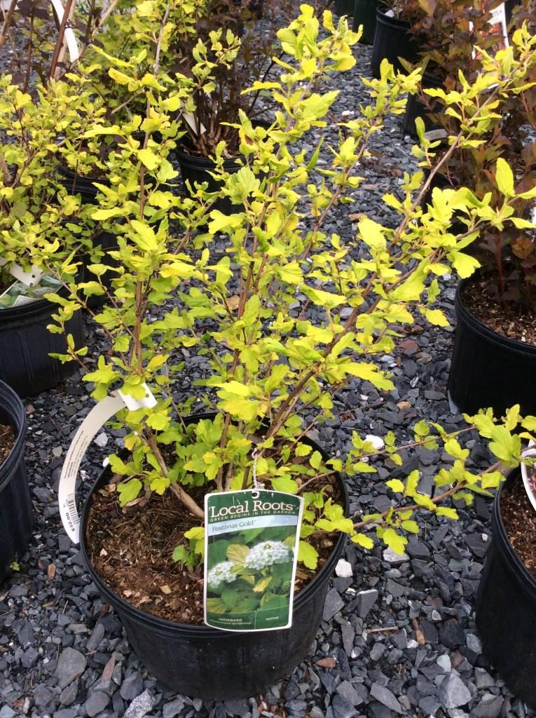 Physocarpus opul. Festivus Gold Ninebark, Festivus Gold, #3