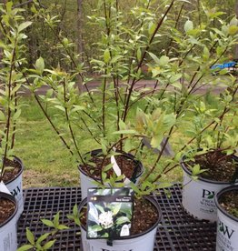 Cornus obliqua Red Rover Dogwood - Silky, Red Rover, #3