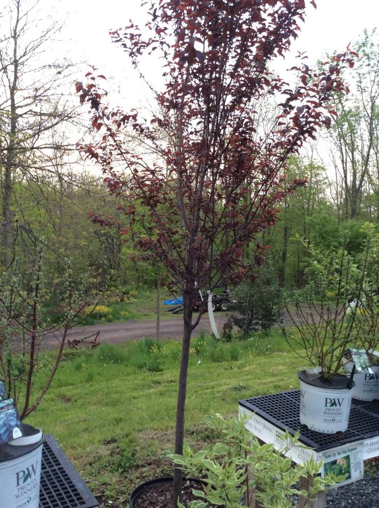 Prunus cerasi. Thundercloud Plum - Purple-leaf, Thundercloud, 1.75