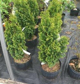 Thuja occ. Degroot's Spire Arborvitae - American, Degroot's Spire, #3