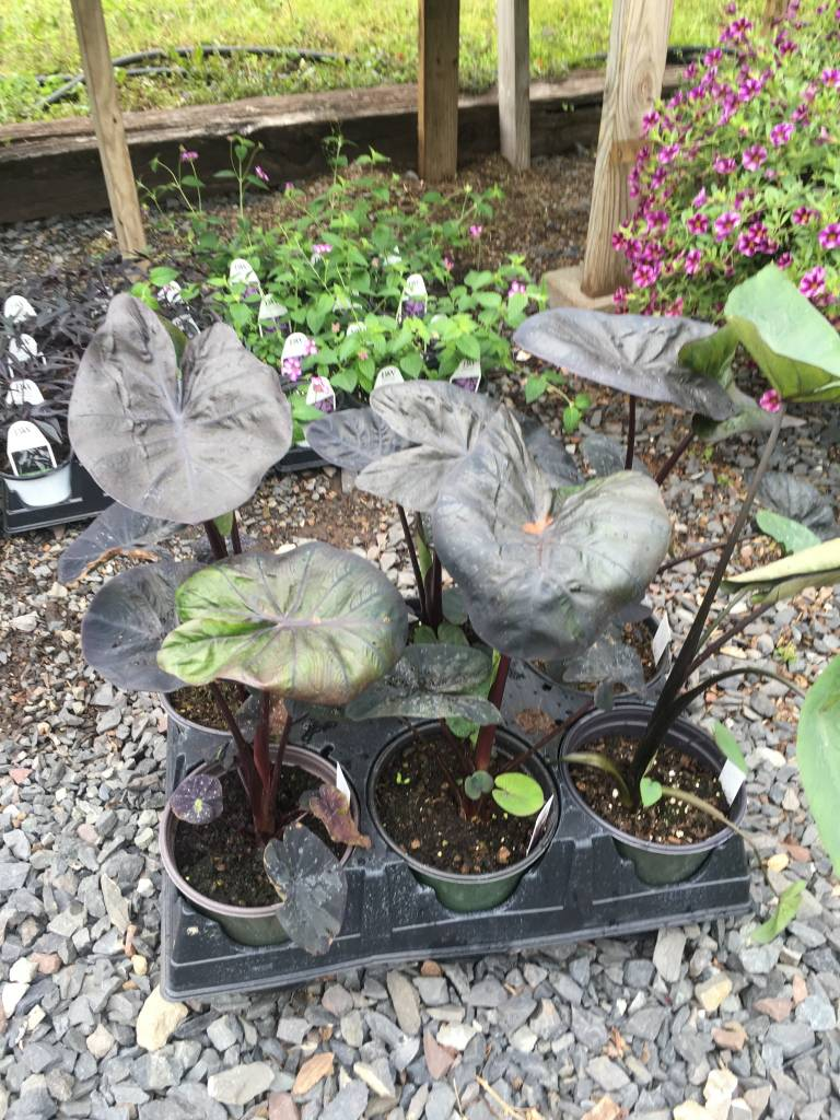 Elephant Ears #1 container