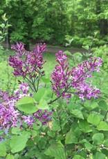 Syringa SMSJBP7 Lilac - Reblooming, Bloomerang Dark Purple, #3