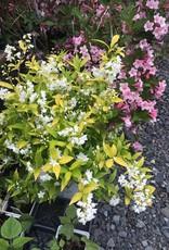 Deutzia gracilis Duncan Deutzia, Chardonnay Pearls, #3
