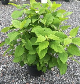Hydrangea arbor. Annabelle Hydrangea - Smooth, Annabelle, #3