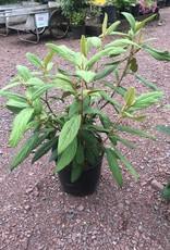 Viburnum rhytidophyllum Viburnum - Leatherleaf, #3