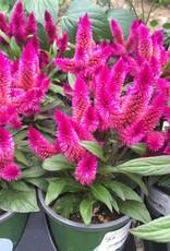 Garden Geek assorted annuals, organic Qt