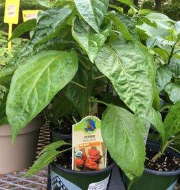 Pepper, Bhut Jolkia Ghost Pepper Organic Qt.