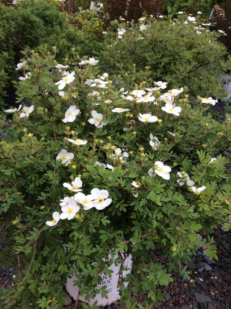 Potentilla frut. White Lady Bush Cinquefoil, Happy Face White, #3