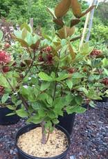 Calycanthus floridus var. Purp. Sweetshrub, Purple-Leaf, #3