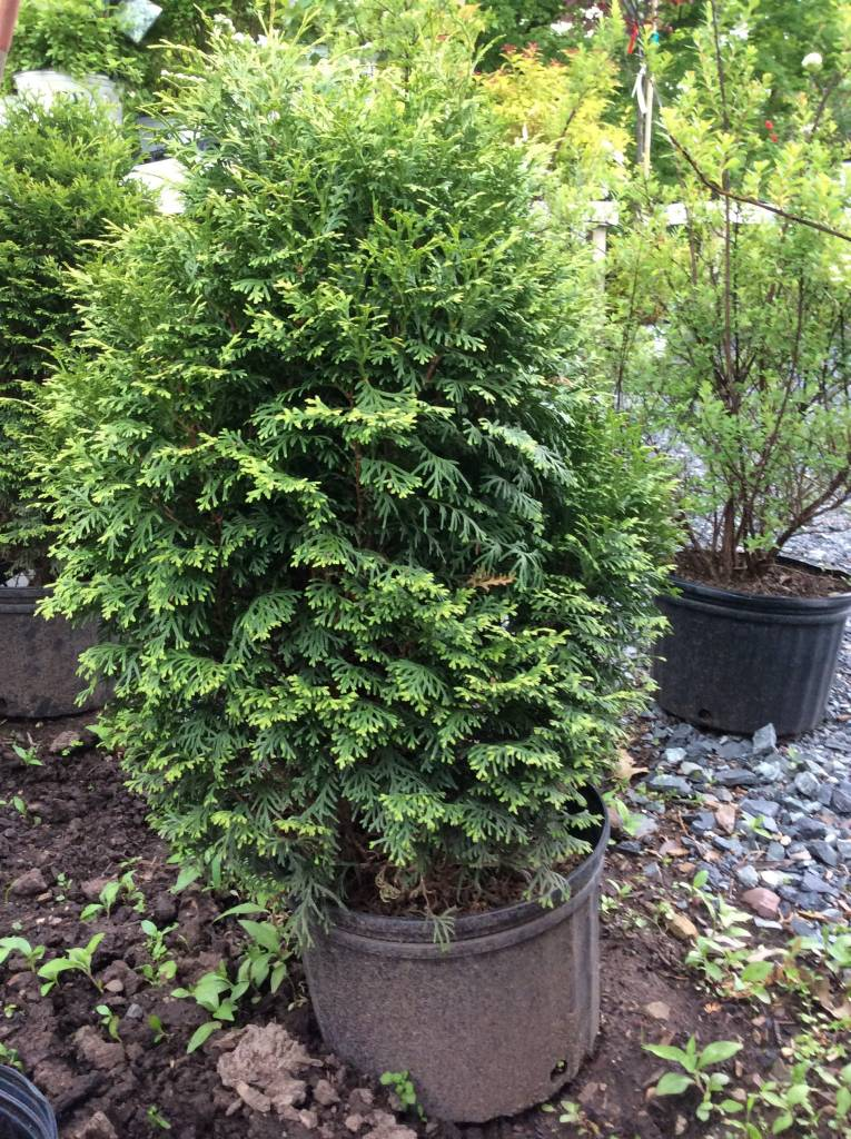 Thuja occ. Holmstrup Arborvitae - American, Holmstrup, #3