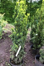 taxus x media Viridis Yew - English-Japanese, Viridis Upright, #3
