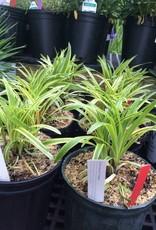 Liriope muscari Variegata Lilyturf, Variegated, #1