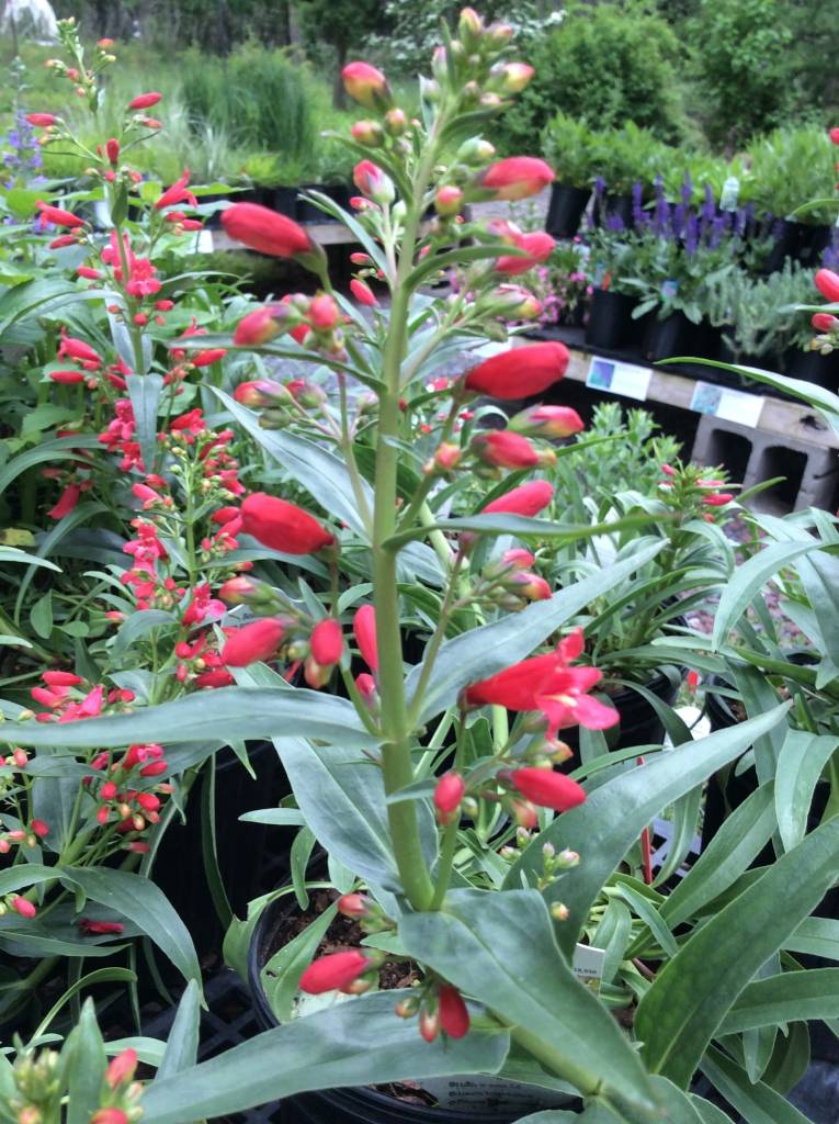 Penstemon Red Riding Hood Beardtongue, Red Riding Hood, #1