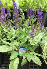 Labor Day Weekend sale Salvia nem. May Night Sage - Meadow, May Night, #1